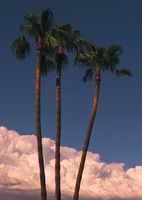 Palm Trio Panorama1s