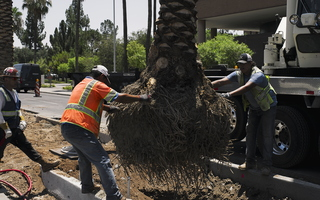 Palm Tree Planting with Crane Roots Dirt