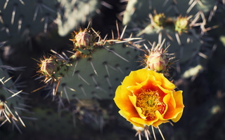 A Different Spring Nopal Prickly Pear Cactus Yellow Blossom