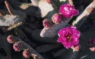 A Different Spring Nopal Prickly Pear Cactus Blossom Purple