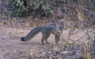 Tempe Mid October Coyote in the City