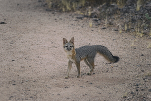 Tempe Mid October Coyote in the City 1